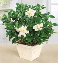 Planta de jazmín